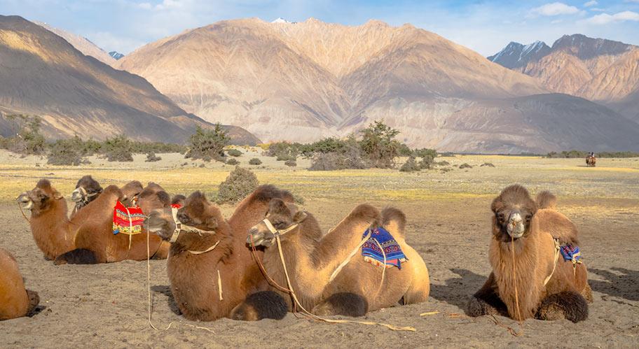 Usbekistan Rundreise Kamele